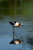 American Avocet bird Royalty Free Stock Photo
