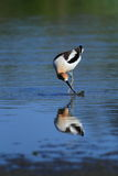 American Avocet bird Royalty Free Stock Images