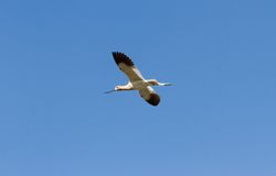 American Avocet Royalty Free Stock Image