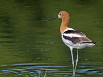 American Avocet in Breeding Colors Stock Image