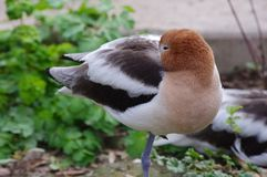 American Avocet. A brown black and white American Avocet standing on one leg Stock Image