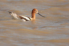 American Avocet In Deep Water. An American Avocet with a drop of water on the end of its long beak Stock Image