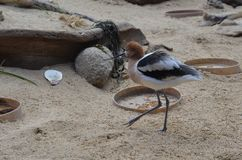 American Avocet In Aviary. American Avocet feeding in aviary at Monterey Bay Aquarium stock photos