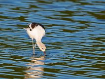 American Avocet Stock Images
