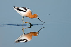 American Avocet. Feeding in the marsh Stock Images