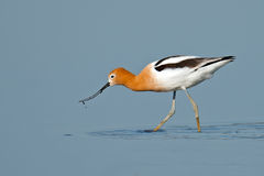American Avocet. Feeding in the marsh in breeding colors Royalty Free Stock Photos
