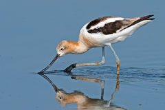 American Avocet Royalty Free Stock Photos