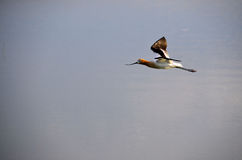 American Avocet in Flight Royalty Free Stock Image