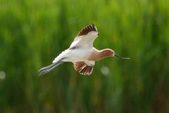 American Avocet in flight. American Avocet  flying over a lake in Rio Grande Valley, Texas Royalty Free Stock Photography
