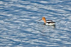 An American Avocet. Floating lonely in mid-water Royalty Free Stock Photos