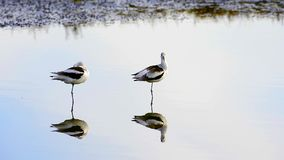 American Avocet stock video footage