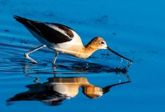 An American Avocet Foraging for food in the Shallow Water of a Lake royalty free stock photos