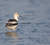 American Avocet at Ft. Desoto in St. Petersburg Royalty Free Stock Photography