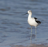 American Avocet at Ft. Desoto in St. Petersburg Stock Images