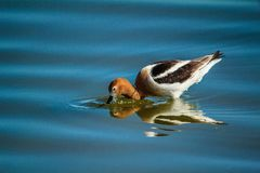 American Avocet getting a drink. Bruce Lake, rural Alberta, Canada with beads of water Royalty Free Stock Photo