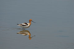 American Avocet Royalty Free Stock Images