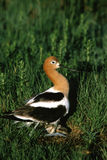 American Avocet on Nest Stock Images