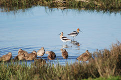 American Avocet in the Newport backbay. Image shows,in the center, two American Avocets (Recurvirostra americana) in the Newport Beach backbay estuary.This stock photos