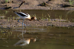 American Avocet, Recurvirostra americana Royalty Free Stock Images