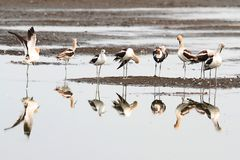 American Avocet (Recurvirostra americana) Stock Photo