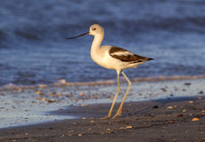 American avocet (Recurvirostra americana) on the beach at sunset Royalty Free Stock Photo