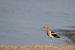 American Avocet, Recurvirostra americana Stock Photo