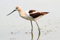 American Avocet (Recurvirostra americana) Royalty Free Stock Images