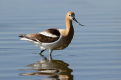 American Avocet Scrounging for Food in a Pond. Royalty Free Stock Image