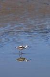 American Avocet shorebird, Recurvirostra Americana Royalty Free Stock Image