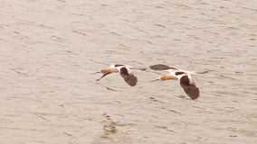 American Avocet shorebirds. Recurvirostra Americana, fly over a marsh in Southern California in spring Royalty Free Stock Image