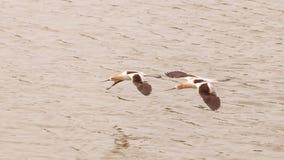 American Avocet shorebirds Royalty Free Stock Image