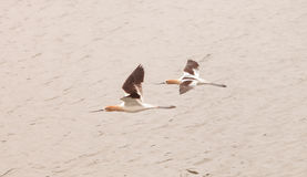 American Avocet shorebirds. Recurvirostra Americana, fly over a marsh in Southern California in spring Stock Images