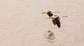 American Avocet shorebirds. Recurvirostra Americana, fly over a marsh in Southern California in spring Royalty Free Stock Photo