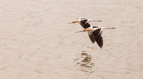 American Avocet shorebirds Royalty Free Stock Photo