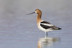 American Avocet standing in a shallow lake - Nevada Royalty Free Stock Image