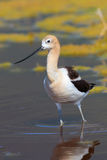 American Avocet standing in shallow pond water. Under sunny skies royalty free stock photography