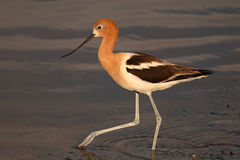 American Avocet Stepping Royalty Free Stock Photos