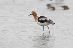 American Avocet - Texas Stock Photography