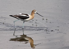 American Avocet Wading Stock Image