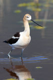 American Avocet Wading Through Shallow Water Royalty Free Stock Photo