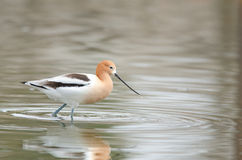 American Avocet Royalty Free Stock Photography