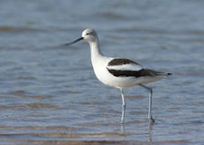 American Avocet walking with beak open at Ft. Desoto in St. Pete Stock Image
