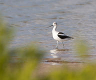 American Avocet walking in water at Ft. Desoto in St. Petersburg Royalty Free Stock Photography