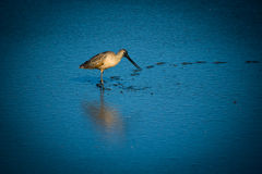 An American Avocet Royalty Free Stock Images