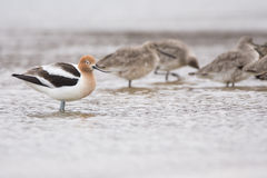 American Avocet and Willets Royalty Free Stock Images