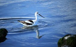American Avocet in winter plumage Royalty Free Stock Images