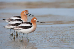 American Avocets. On the beach stock photos