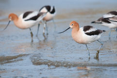 American Avocets. On the beach royalty free stock image