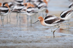 American Avocets. On the beach stock images