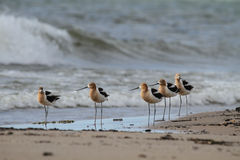 American Avocets on the Beach. Five sleepy American Avocet (Recurvirostra americana) taking a break from their long migration trip and resting on a beach Royalty Free Stock Image